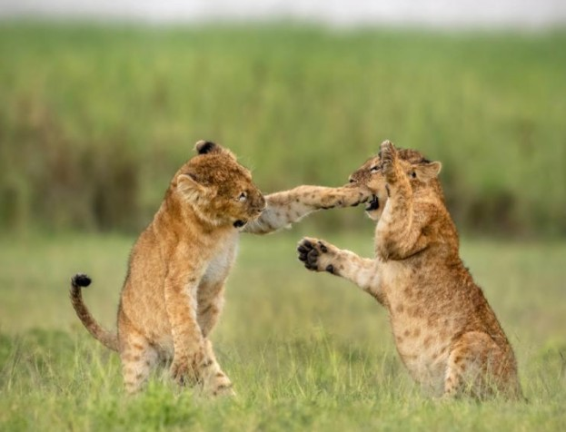 cat cubs, lions,cubs,comics,fighting,grassland,savana